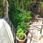 Μεσολόγγι: Συνελήφθη καλλιεργητής ναρκωτικών - ΦΩΤΟ