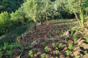 28 6 2021 Εντοπίστηκε μεγάλη οργανωμένη φυτεία κάνναβης με 4.325 δενδρύλλια και φυτά σε δύσβατη δασική περιοχή της Ανδρίτσαινας 1