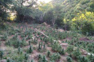28 6 2021 Εντοπίστηκε μεγάλη οργανωμένη φυτεία κάνναβης με 4.325 δενδρύλλια και φυτά σε δύσβατη δασική περιοχή της Ανδρίτσαινας 10