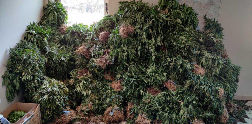 28 6 2021 Εντοπίστηκε μεγάλη οργανωμένη φυτεία κάνναβης με 4.325 δενδρύλλια και φυτά σε δύσβατη δασική περιοχή της Ανδρίτσαινας 3