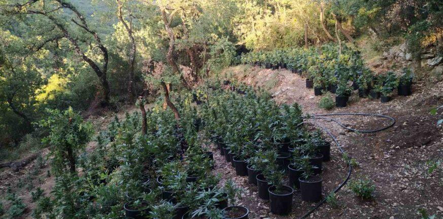 28 6 2021 Εντοπίστηκε μεγάλη οργανωμένη φυτεία κάνναβης με 4.325 δενδρύλλια και φυτά σε δύσβατη δασική περιοχή της Ανδρίτσαινας 9