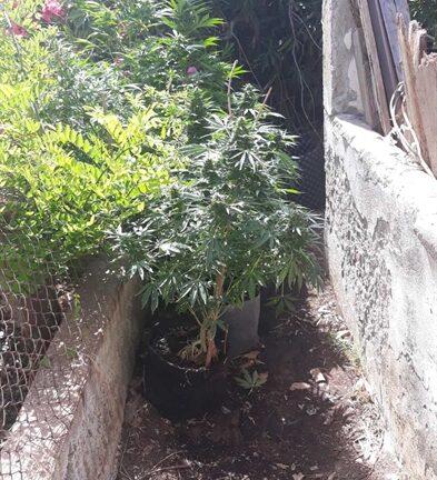 Κατάκολο: Μίνι χασισοφυτεία καλλιεργούσε στο σπίτι του ένας άνδρας