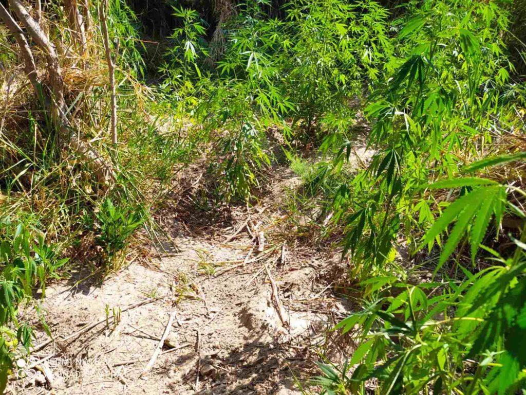 22 7 2021 Συνελήφθησαν δύο καλλιεργητές ναρκωτικ��ν σε περιο��ή της Αιτω��οακαρνανί��ς 1
