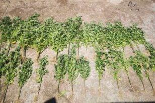 22 7 2021 Συνελήφθησαν δύο καλλιεργητές ναρκωτικ��ν σε περιο��ή της Αιτω��οακαρνανί��ς 3
