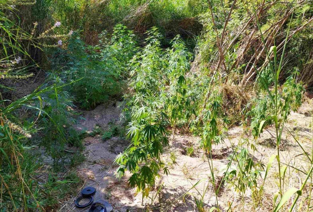 22 7 2021 Συνελήφθησαν δύο καλλιεργητές ναρκωτικ��ν σε περιο��ή της Αιτω��οακαρνανί��ς 4