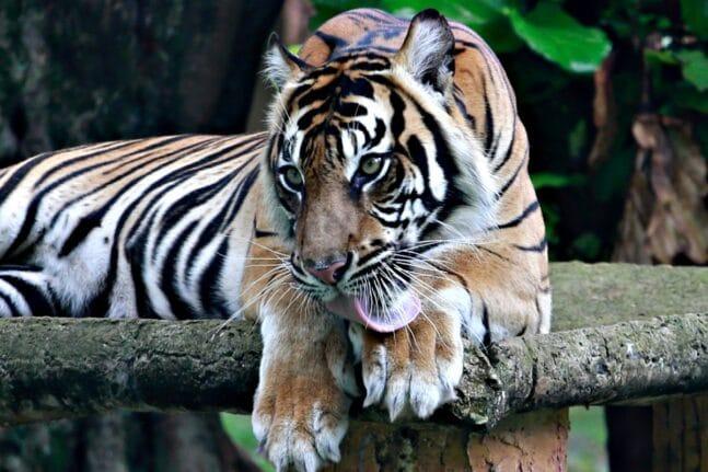 CORONAVIRUS INDONESIA TIGERS