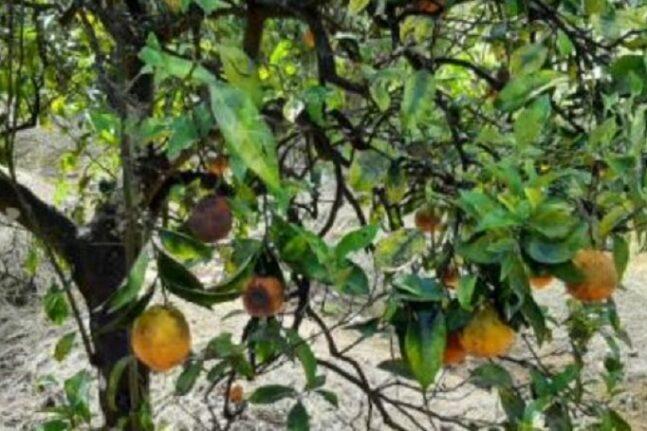 Αιτωλοακαρνανία: Καραντίνα εσπεριδοειδών στην παρατριχώνια