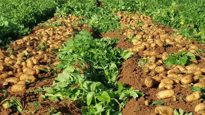 Ανδρέας Κατσανιώτης: Ξεκινά η διαδικασία καταβολής αποζημιώσεων για τους Αχαιούς παραγωγούς πατάτας