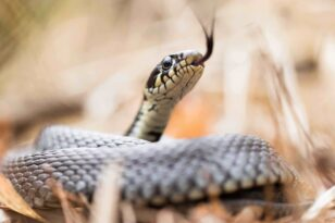 rsz 9 grass snake natrix natrix 955162346 6263x4175 1280x850 1