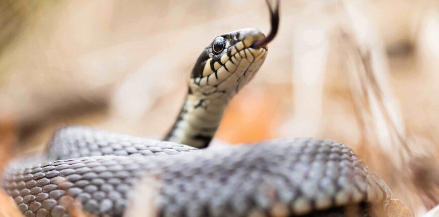 Ερύμανθος: Φίδι δάγκωσε 15χρονο - Μεταφέρθηκε στο ΠΓΝΠ