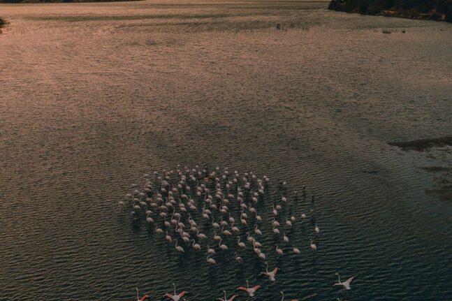 Αχαΐα: Φλαμίνγκο – Εντυπωσιακές εικόνες από τη στάση των ροζ πουλιών στο δάσος της Στροφυλίας ΦΩΤΟ και ΒΙΝΤΕΟ