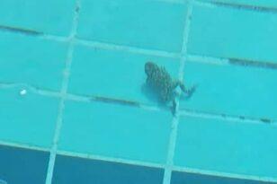 Ο βάτραχος που έπαιξε πόλο στο ΝΟ Καλαμάτας-ΝΕΠ