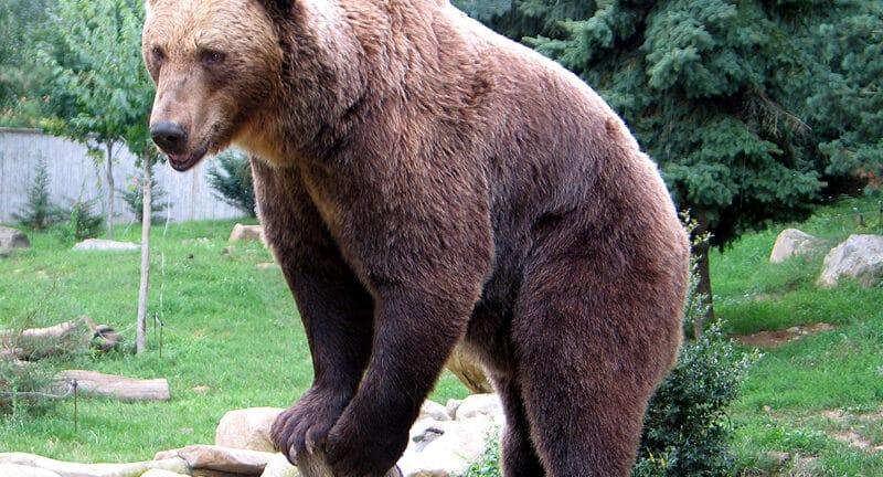 Αρκούδες τρώνε το μέλι των παραγωγών!