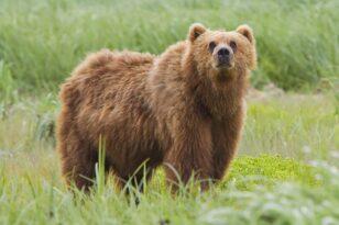 Τον δάγκωσε αρκούδα αλλά τον έσωσε το… κινητό του